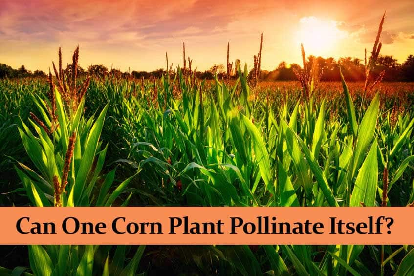 Can One Corn Plant Pollinate Itself?