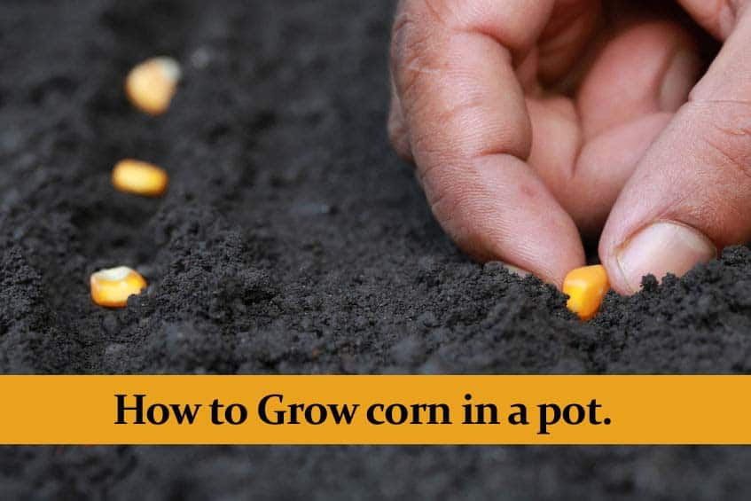 How to Grow Corn in a pot and still get a great Harvest
