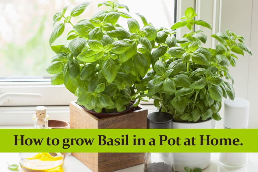 How to grow Basil in a Pot at Home and how to care for it.