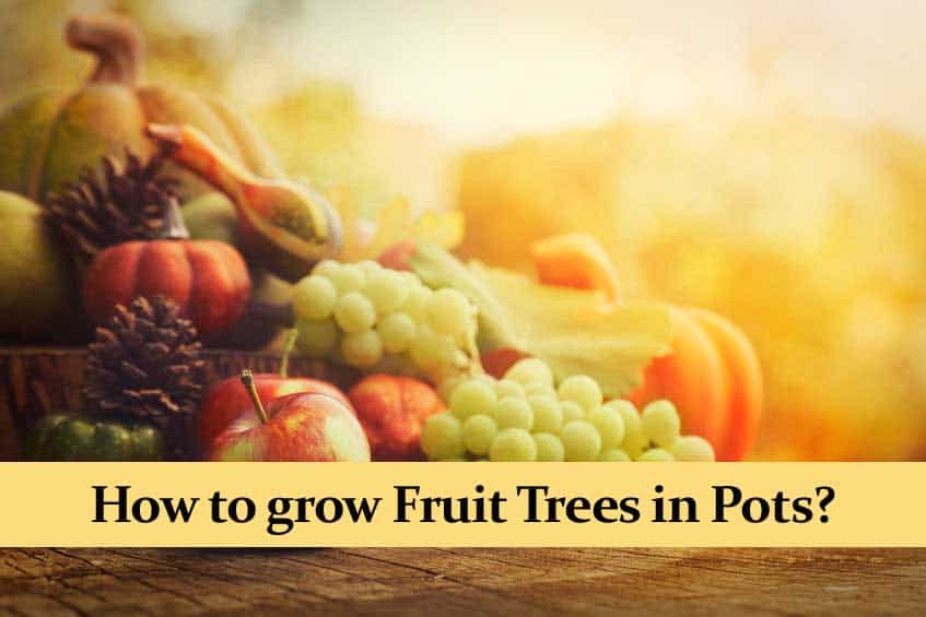 How to grow Fruit Trees in Pots? The Best Trees for Home!