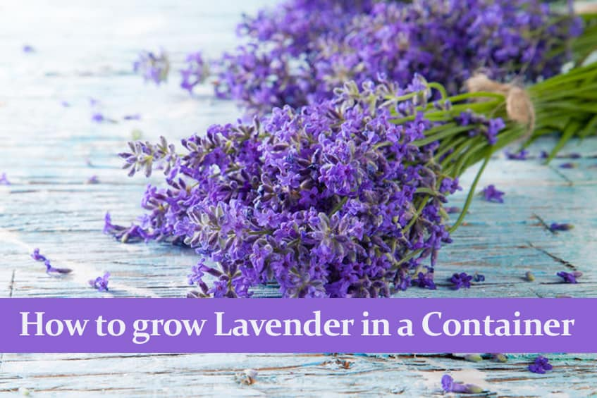 How to grow Lavender in a Container and care for it.