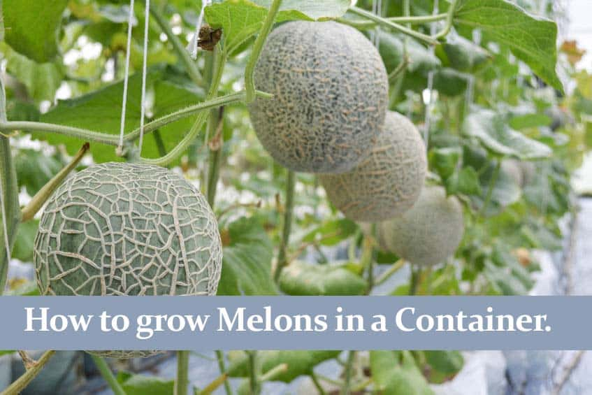 How to grow Melons in a Container and get a Great Harvest!