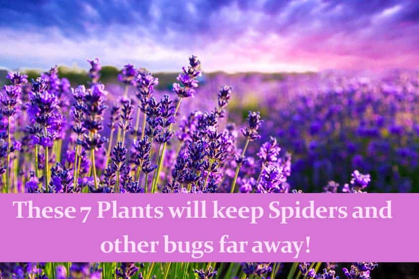 These 7 Plants Will Keep Spiders and Other Bugs far Away!