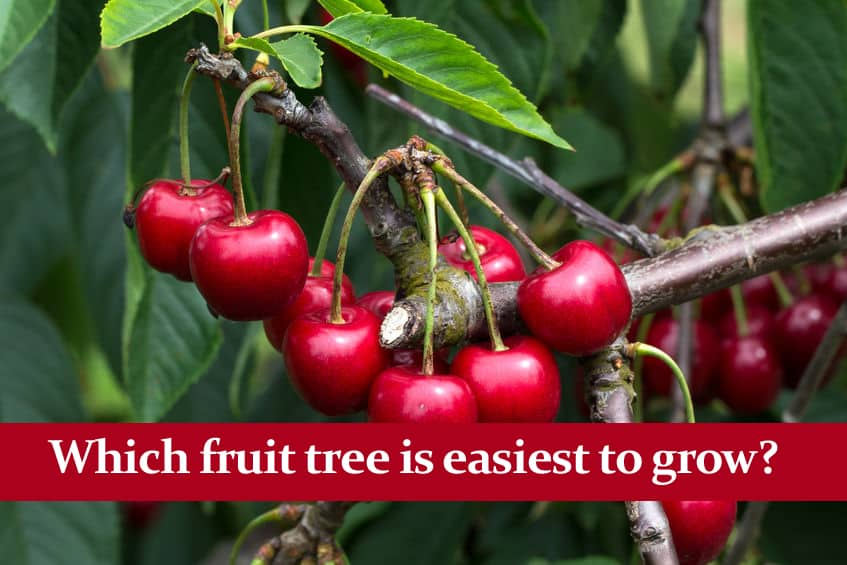 Which Fruit Trees are easiest to Grow? Best Beginner Trees!
