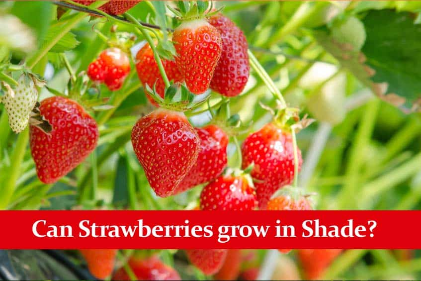 Can Strawberries Grow in Shade? These Varients can!