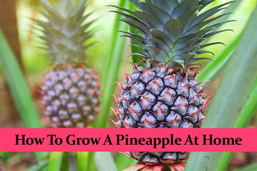 How to Grow a Pineapple at Home | The Smart Way