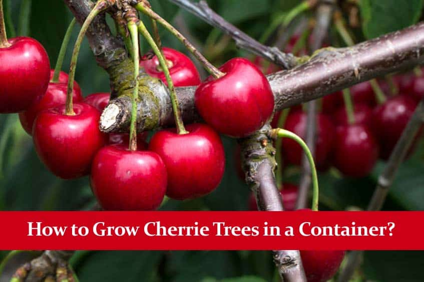 How to Grow Cherrie Trees in a Container?
