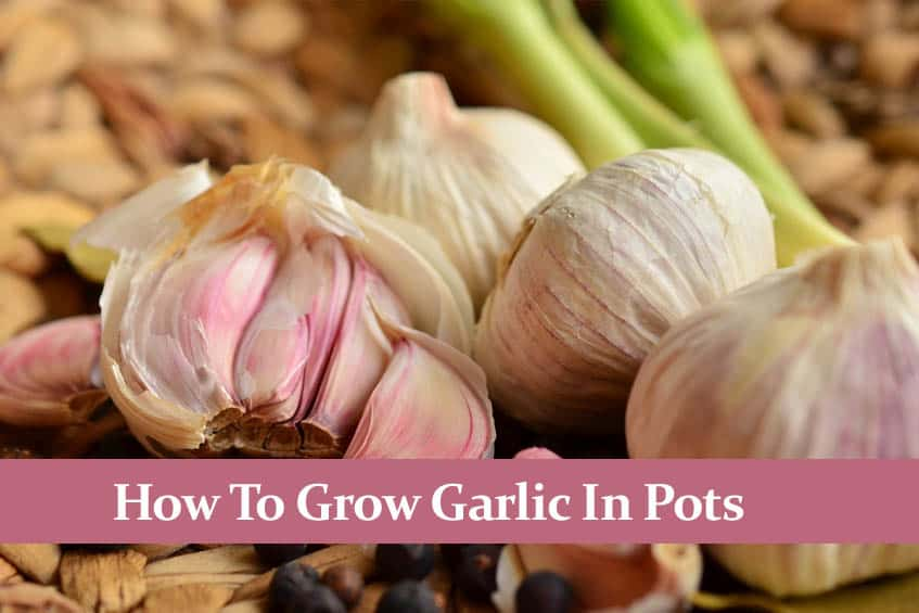 How to Grow Garlic in a Pot. It´s Easier than You Think!