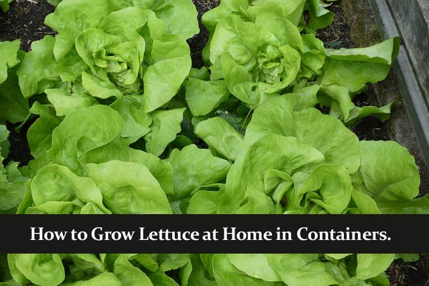 How to Grow Lettuce at Home in Containers.