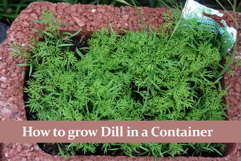 How to Grow Dill in a Pot? An Endless Supply of Fresh Dill!
