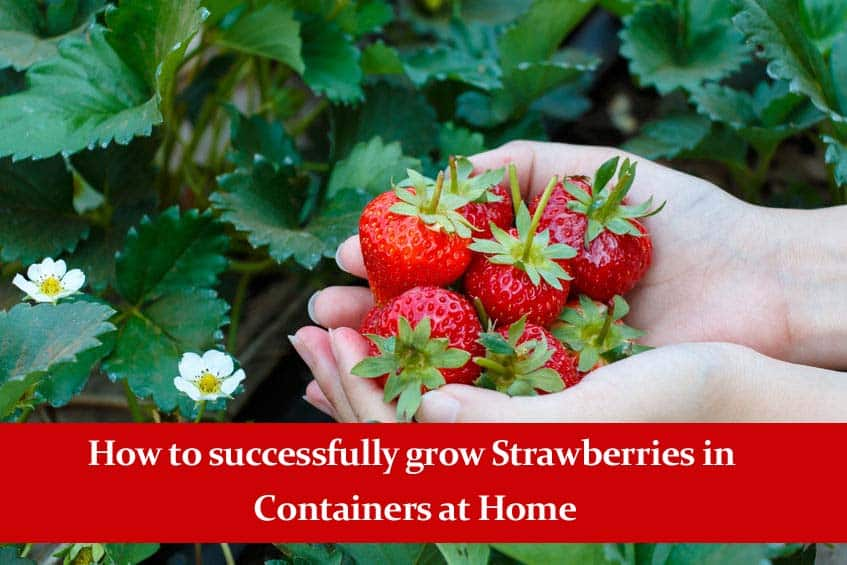 How to Successfully Grow Strawberries in Containers at Home