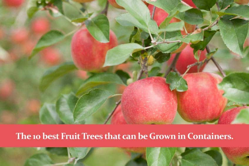 The 10 best Fruit Trees that can be Grown in Containers.