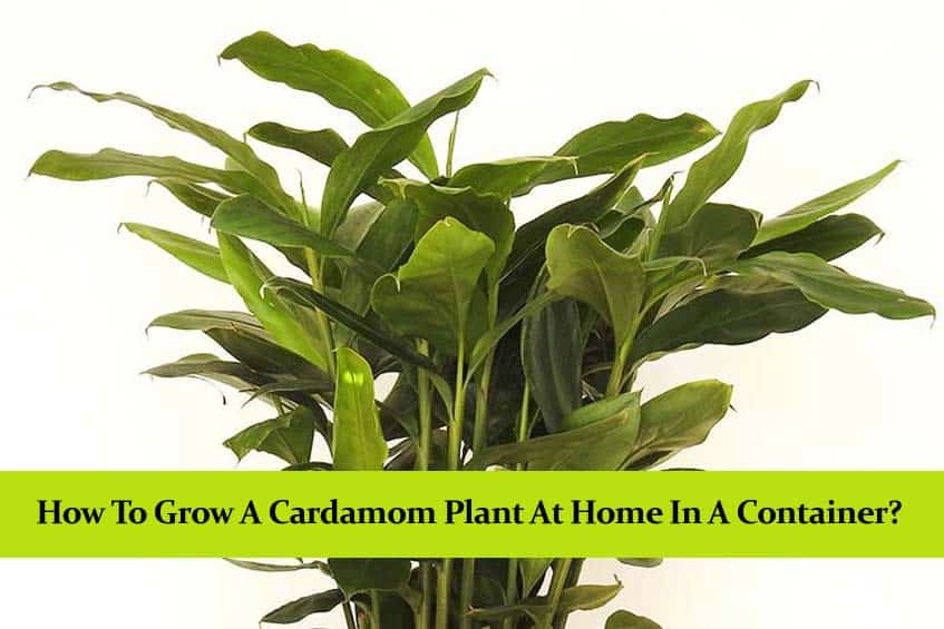 How to Grow a Cardamom Plant at Home in a Container?