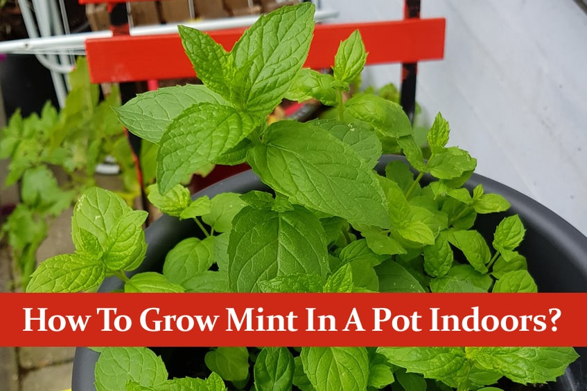 How To Grow Mint In A Pot Indoors? All You Need To Know!