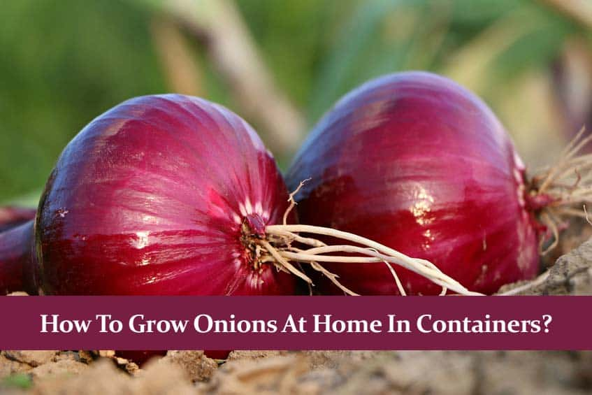 How to Grow Onions at Home in Containers?   Detailed Guide  