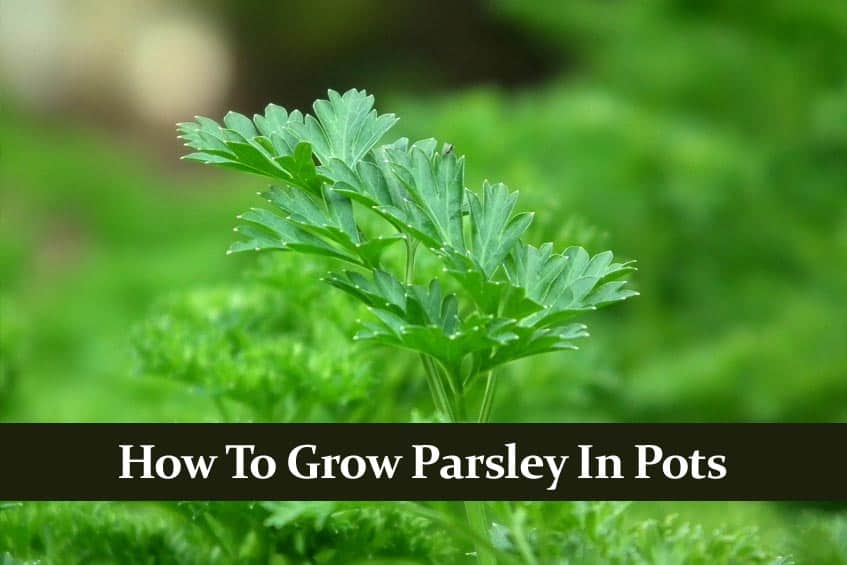 How to Grow Parsley Indoors in a Pot. What You Must Know!