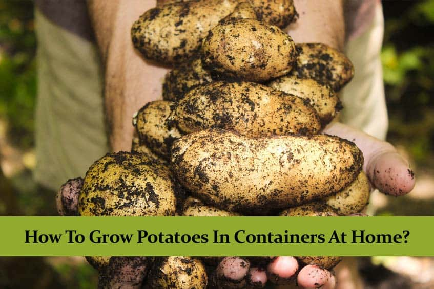 How to Grow Potatoes in Containers at Home? | Full Guide |