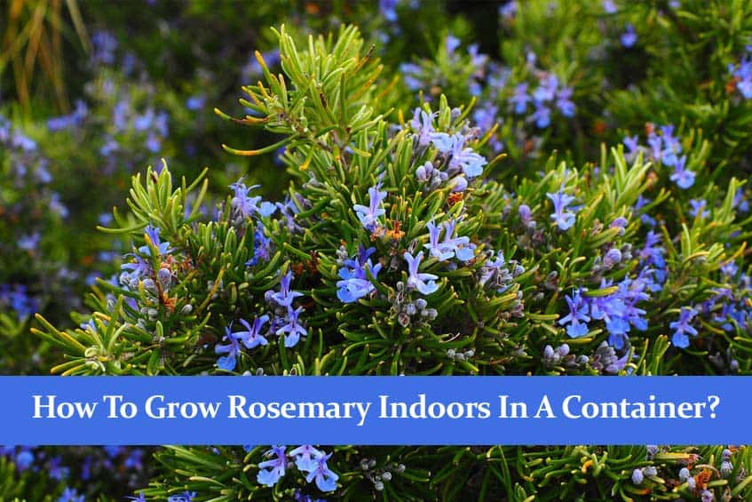 How to Grow Rosemary Indoors in a Container? A Full Guide!