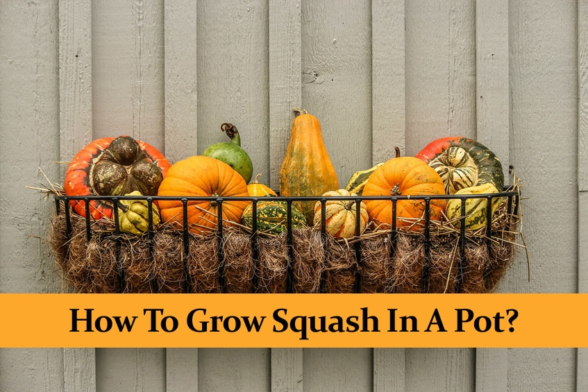 How to Grow Squash in a Pot? ||Growing and Care Guide ||