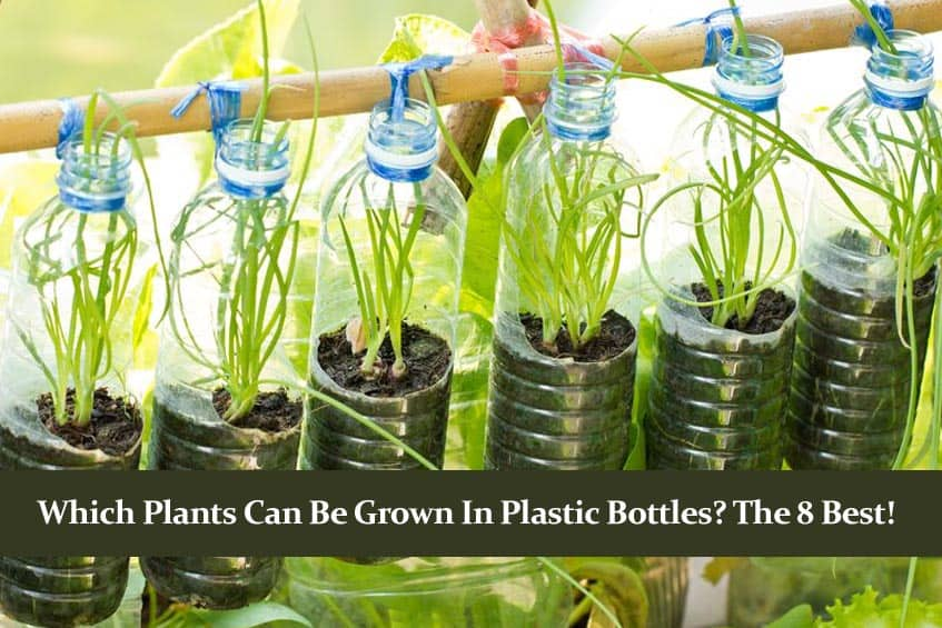 Which Plants can be Grown in Plastic Bottles? The 8 Best!