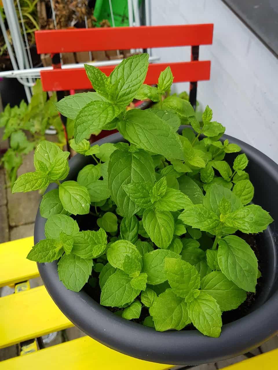Wie man Minze richtig pflanzt und pflegt im Garten und Zuhause im Blumentopf.