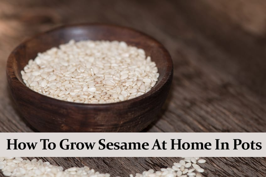 How to Grow Sesame at Home in Pots || The Full Guide