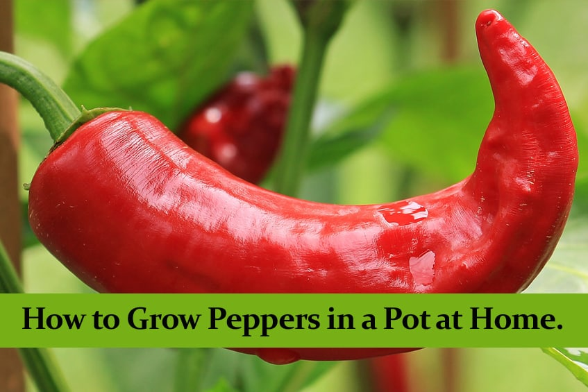 How to Grow Peppers in a Pot at Home. || Full Guide ||