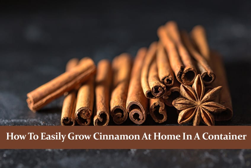 How to Easily Grow Cinnamon at Home in a Container