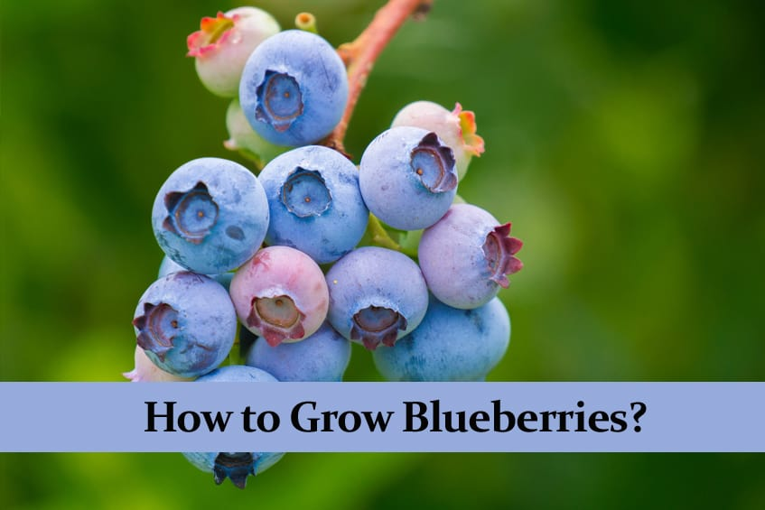 How to Grow Blueberries? Very Detailed Care Guide!