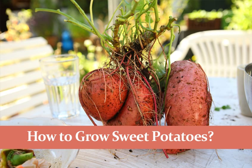 How to Grow Sweet Potatoes and How to Care for Them