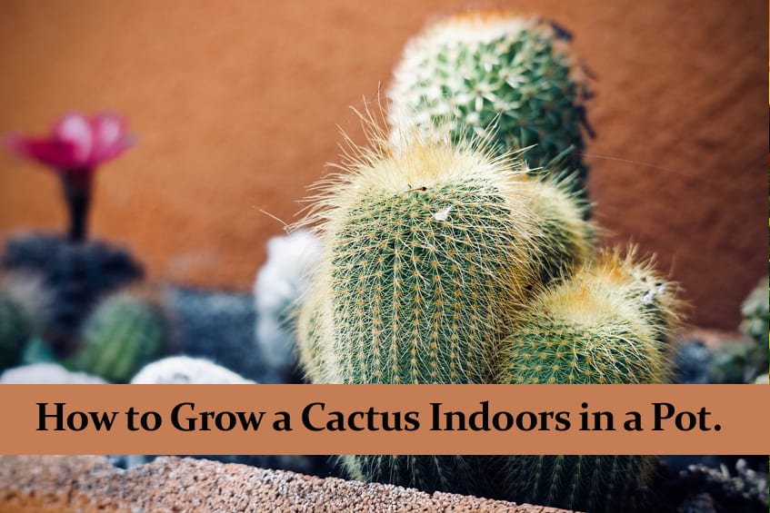 How to Grow a Cactus Indoors in a Pot.