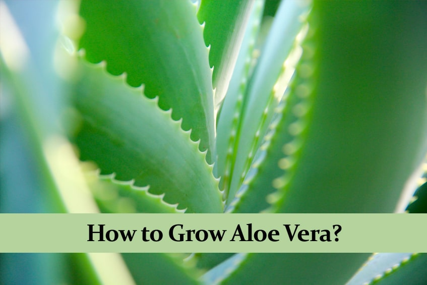 How to Grow Aloe Vera   A Detailed Guide
