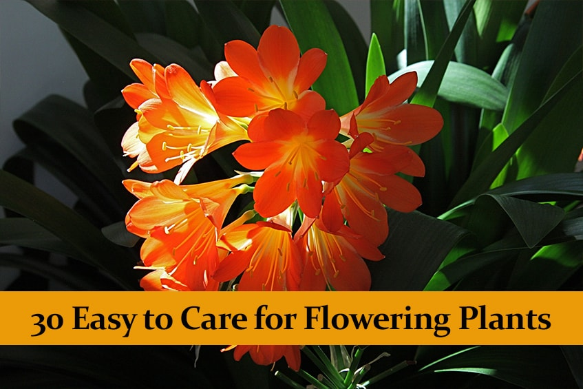 30 Easy to Care for Flowering Plants