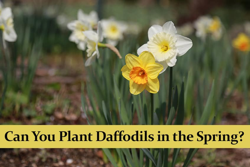 Can You Plant Daffodils in the Spring?