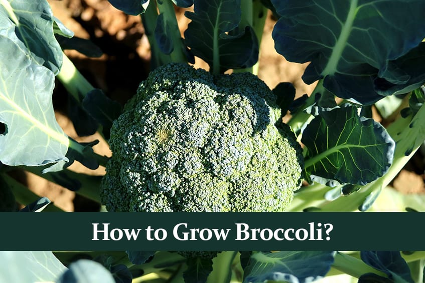 How to Grow Broccoli? Full Guide