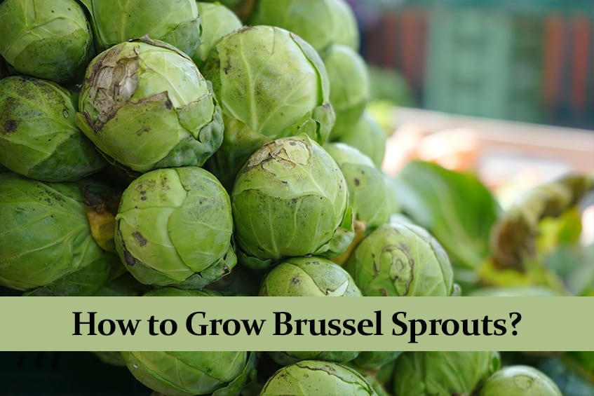 How to Grow Brussel Sprouts? The Complete Guide!