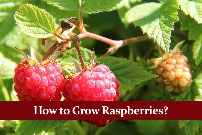 How to Grow Raspberries? Complete Guide