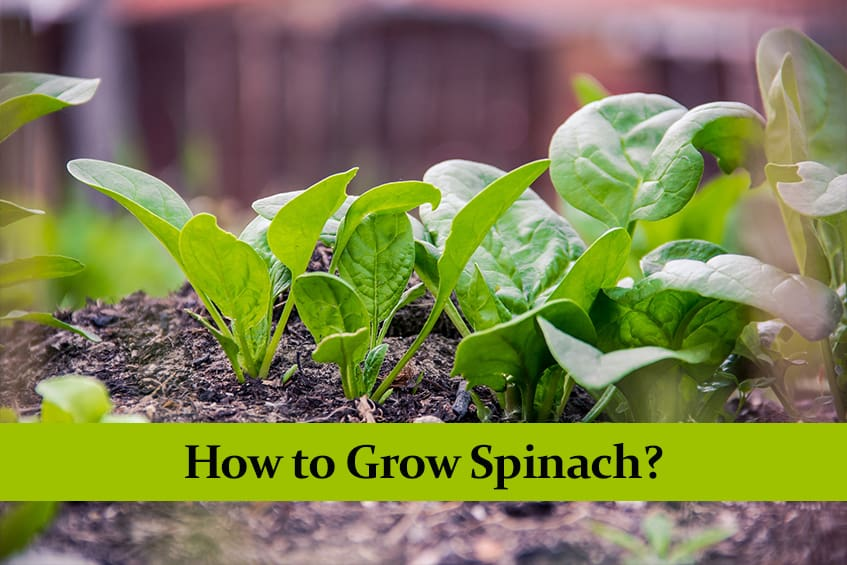 How to Grow Spinach? Complete Guide