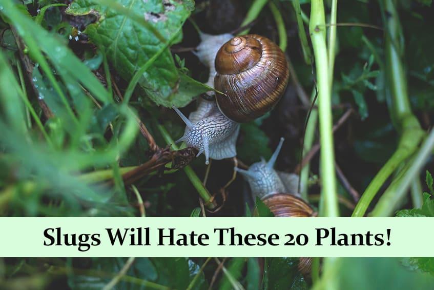 Slugs Hate These 20 Plants!