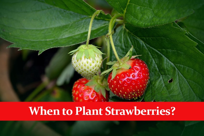 When to Plant Strawberries? || It Depends on Your Location