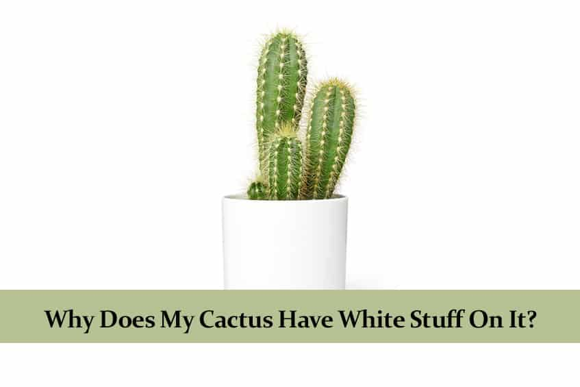 Why Does My Cactus Have White Stuff On It?