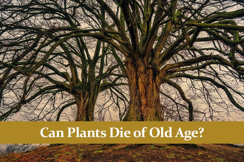 Can Plants Die of Old Age? – How Some Plants are Immortal