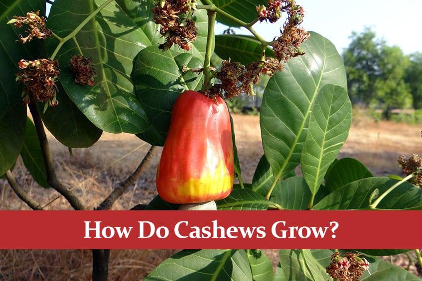 How Do Cashews Grow?