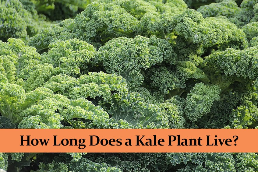 How Long Does a Kale Plant Live?