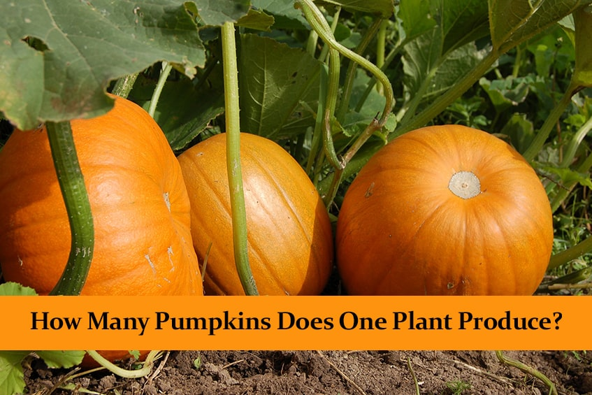 How Many Pumpkins Does One Plant Produce?