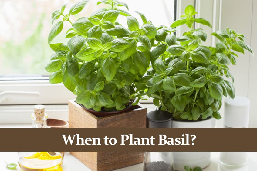 When to Plant Basil? Timing is Important!