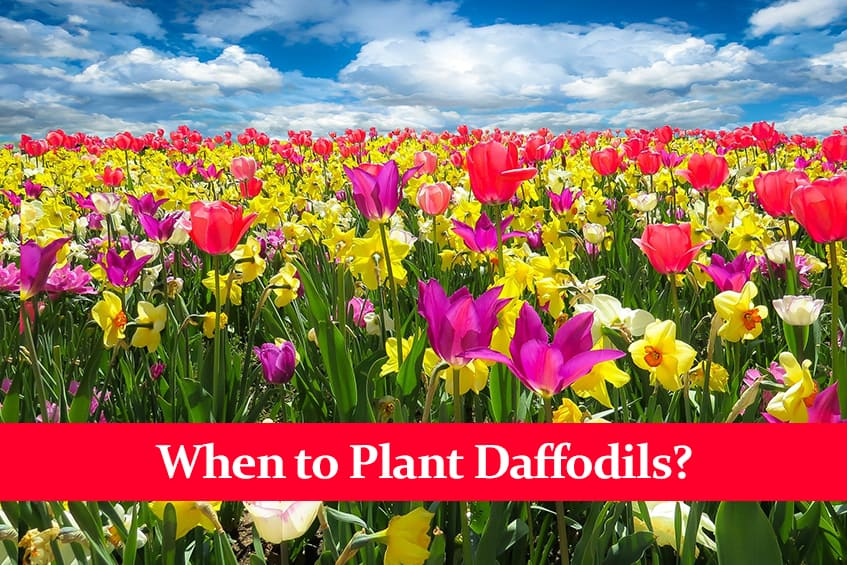 When to Plant Daffodils?