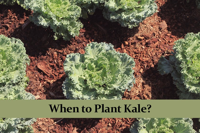 When to Plant Kale?