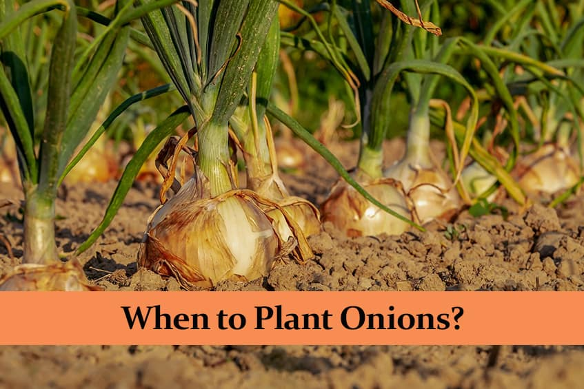 When to Plant Onions?