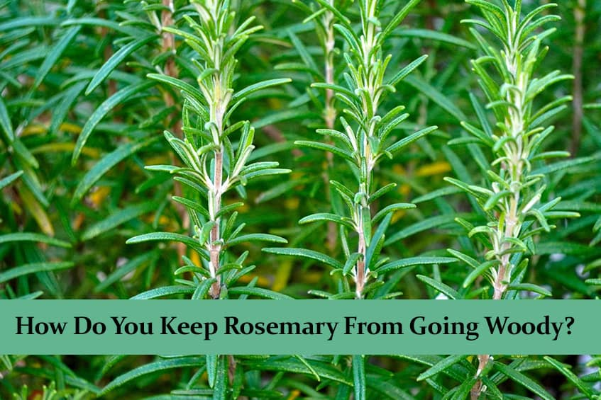 How Do You Keep Rosemary From Going Woody?